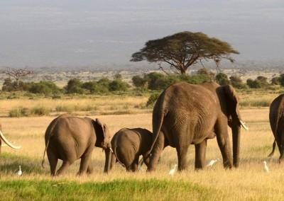 Attila Jandi/Shutterstock.com // Afrikanische Elefanten im Amboseli Nationalpark Kenya